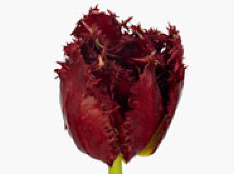 tulipa versaci