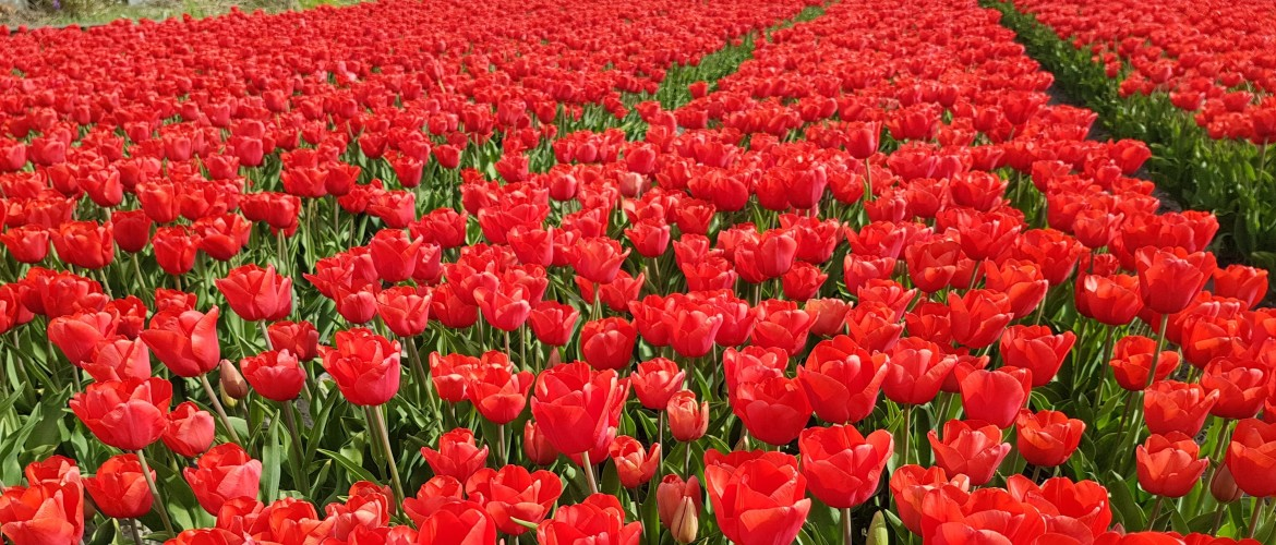 The magnificent world of Dutch Tulips [1/2]