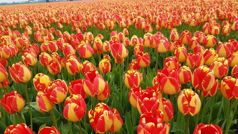 Darwin-Tulip-'Banja-Luka'