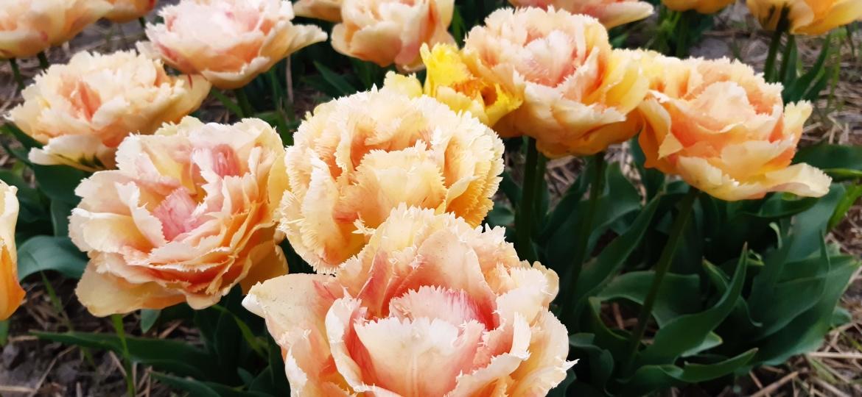 Double+Fringed-Tulip-'Vaya-Con-Dios'
