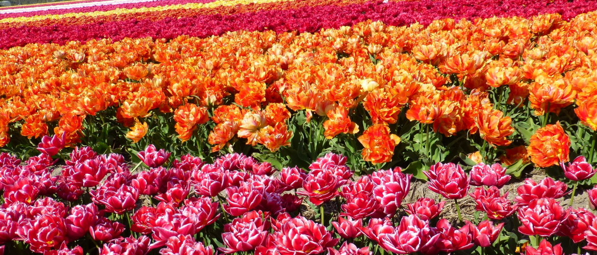Which Tulips would you plant this year?