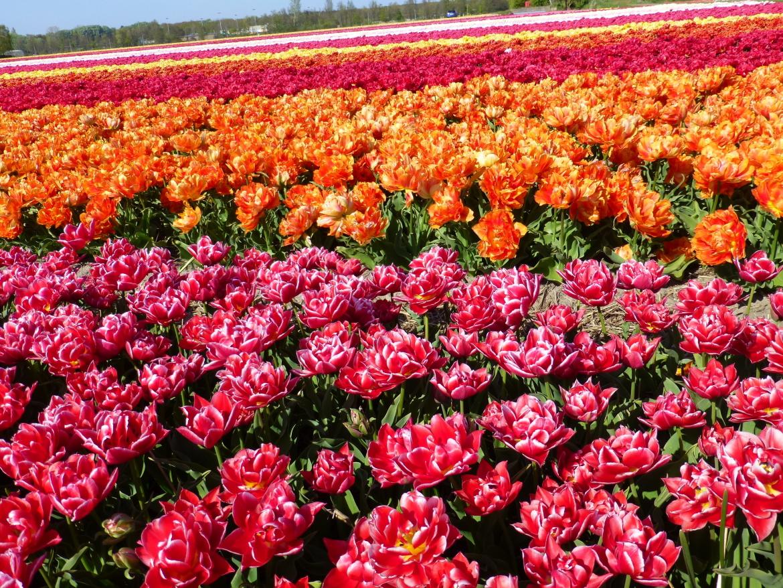 Field-of-several-double,-early-flowering-Tulip-varieties
