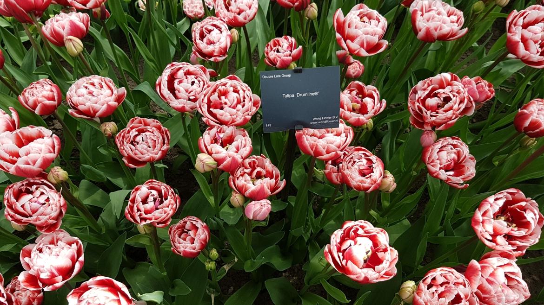 Double,-late-Tulip-'Drumline'