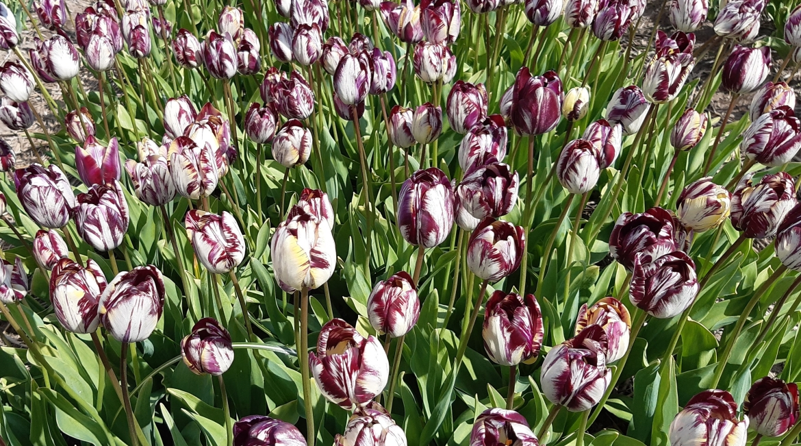 Field-of-a-'Rembrandt'-Tulip-variety.