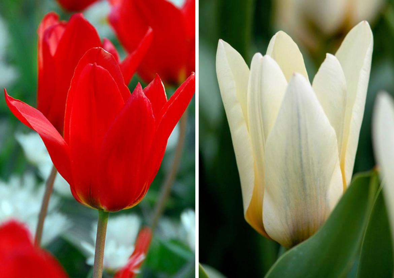 Fosteriana-Tulip-'Princeps'-and-Fosteriana-Tulip-'Concerto'.
