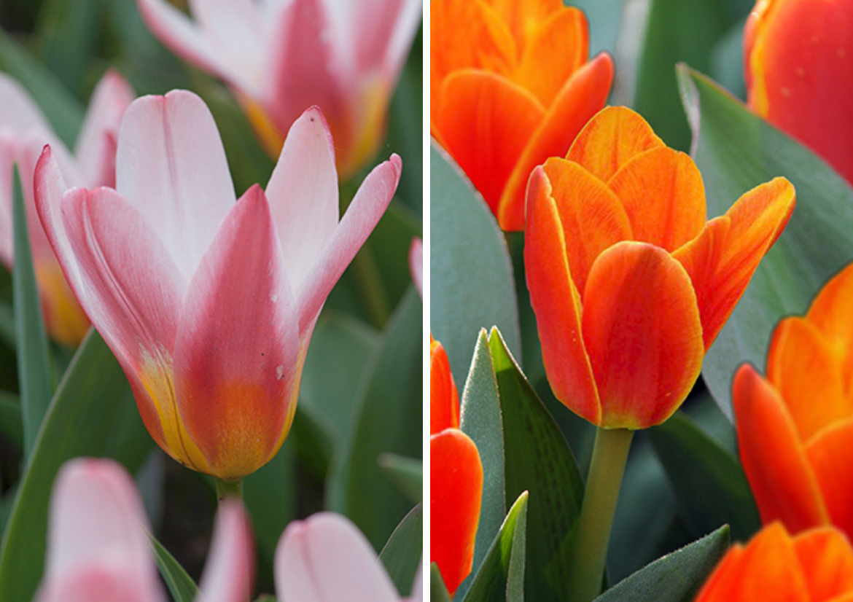Kaufmannia-Tulip-'Heart's-Delight-and-Kaufmannia-Tulip-'Love-Song.