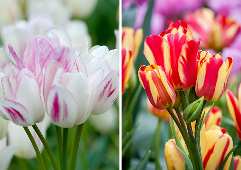 Multiflora-Tulip-'Candy-Club'-and-Multiflora-Tulip-'Wonder-Club'.