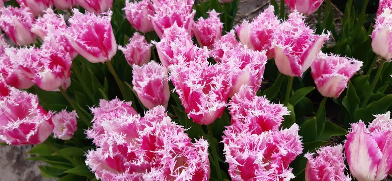Fringed-bicolor-Tulip