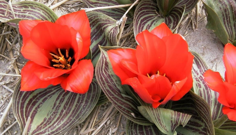 Greigi-Tulip-'Royal-Anthos'