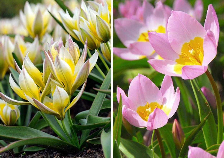 Botanical-Tulip-'Tarda'-and-Botanical-Tulip-'Lilac-Wonder'.