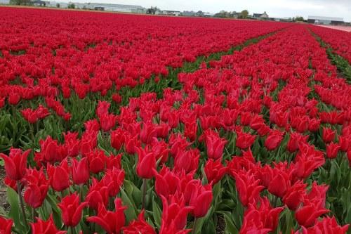 Red Tulips in field