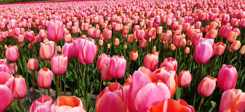 Single,-late-Tulip-'Menton'