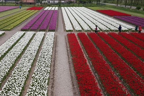 tulip mosaic in Noordoostpolder