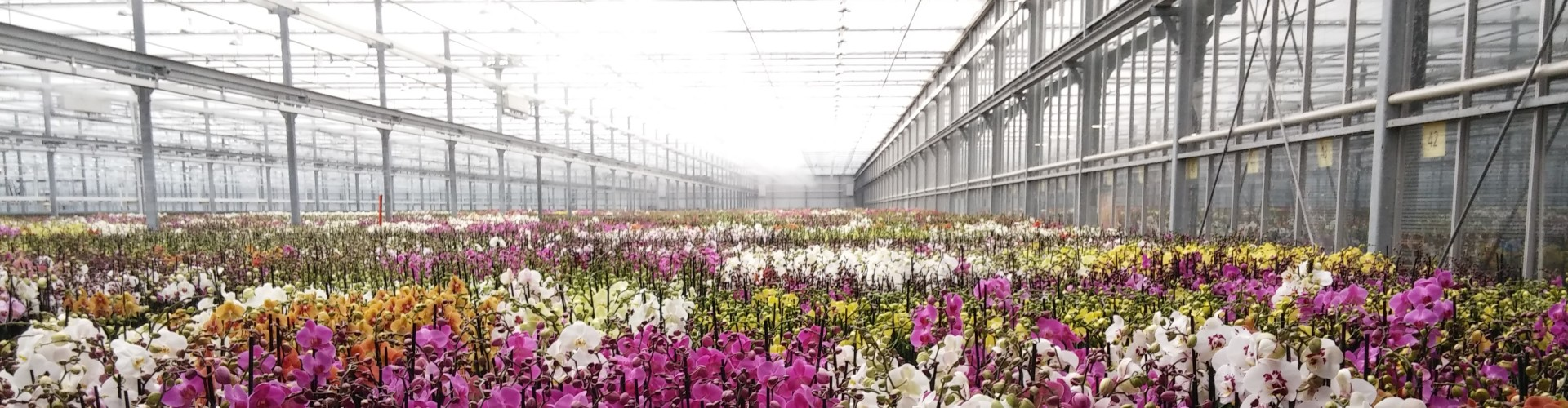 Phalaenopsis Orchids in greenhouse