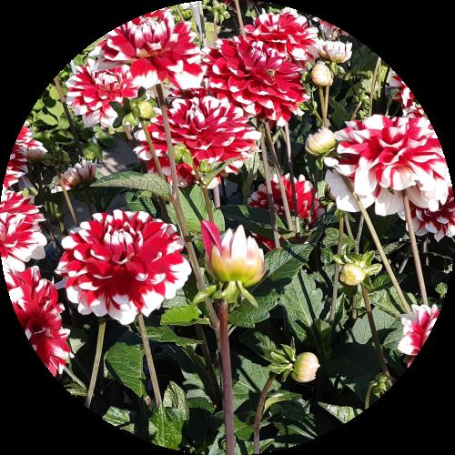 Bicolor Dahlias