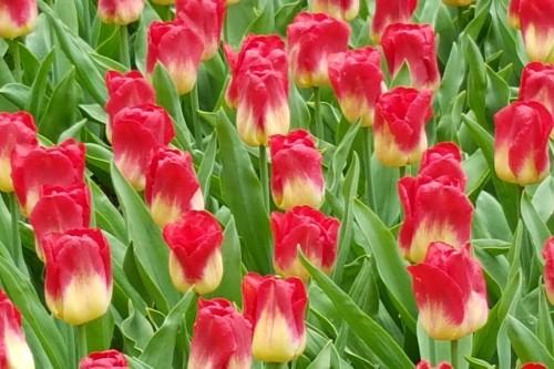 bicolor-tulips