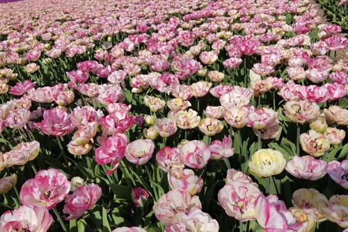 double-pink-white-tulip