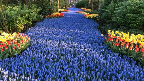Grape Hyacinths at Keukenhof park