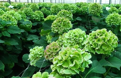green-cut-flower-hydrangea