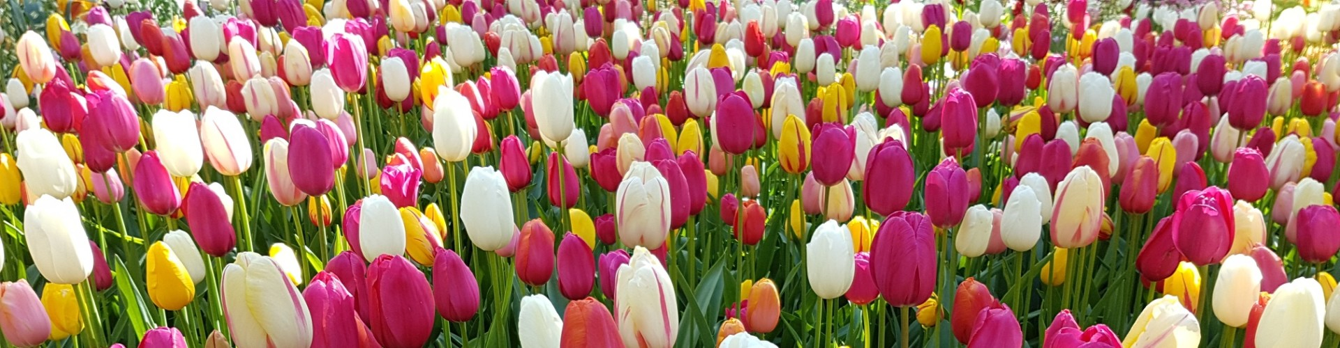 Mixed-Tulips-planted-at-Keukenhof-park