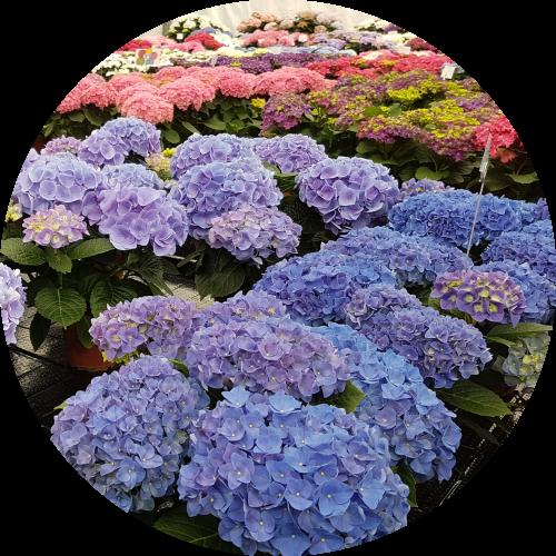 new-hydrangea-varieties
