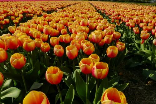 Orange-Tulips-in-field