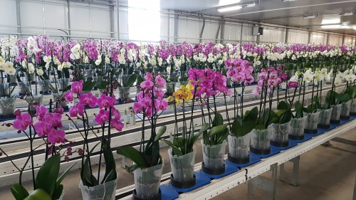 orchids-at-automated-nursery