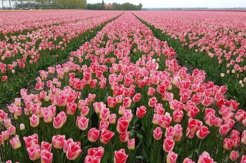 Pink/white Tulips in field in Noordoostpolder