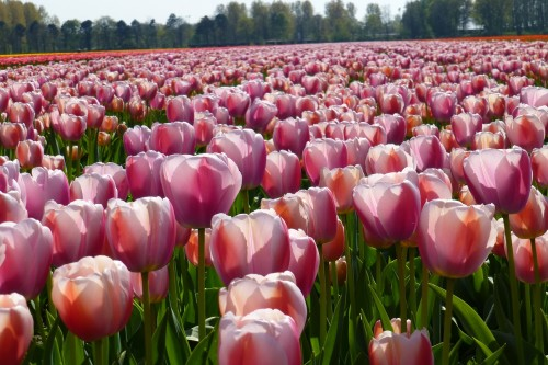 Pink-white-Tulips-in-April