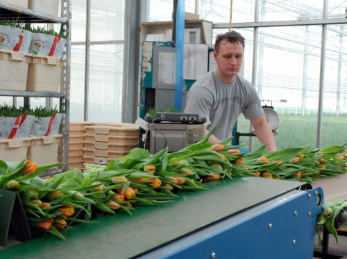 tulip-cut-flower-nursery
