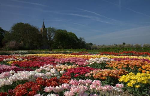 tulips-at-hortus-bulborum