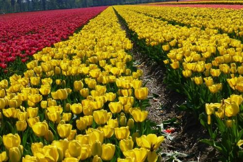 Several Tulip varieties growing on farm