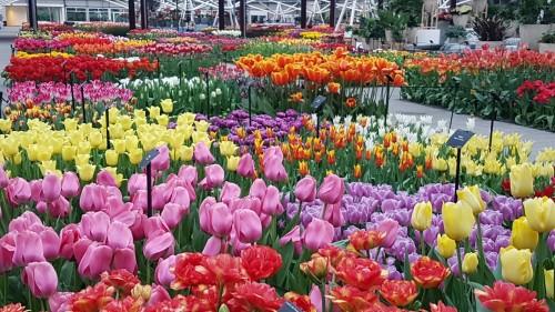 Tulips-inside-a-pavilion