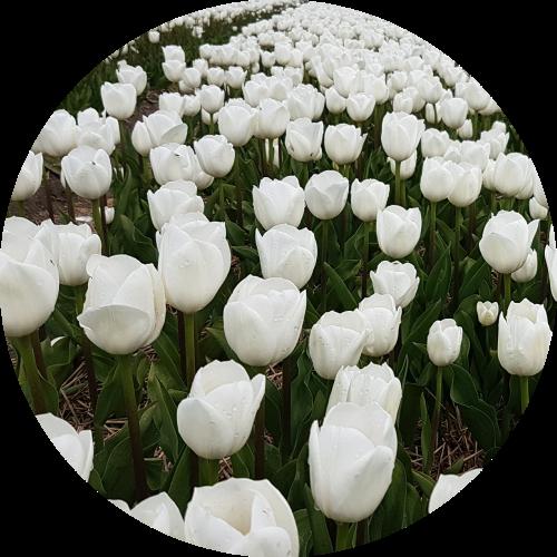 white-tulips-in-noordoostpolder