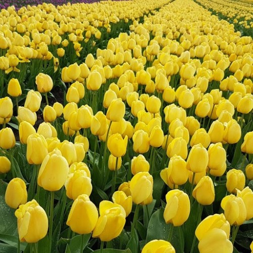 Flowering bulbfields