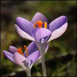 paarse-krokus