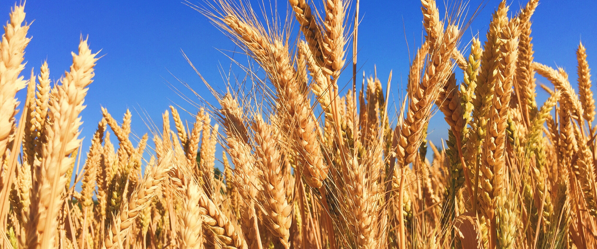 Is tarwe nu gezond of niet?