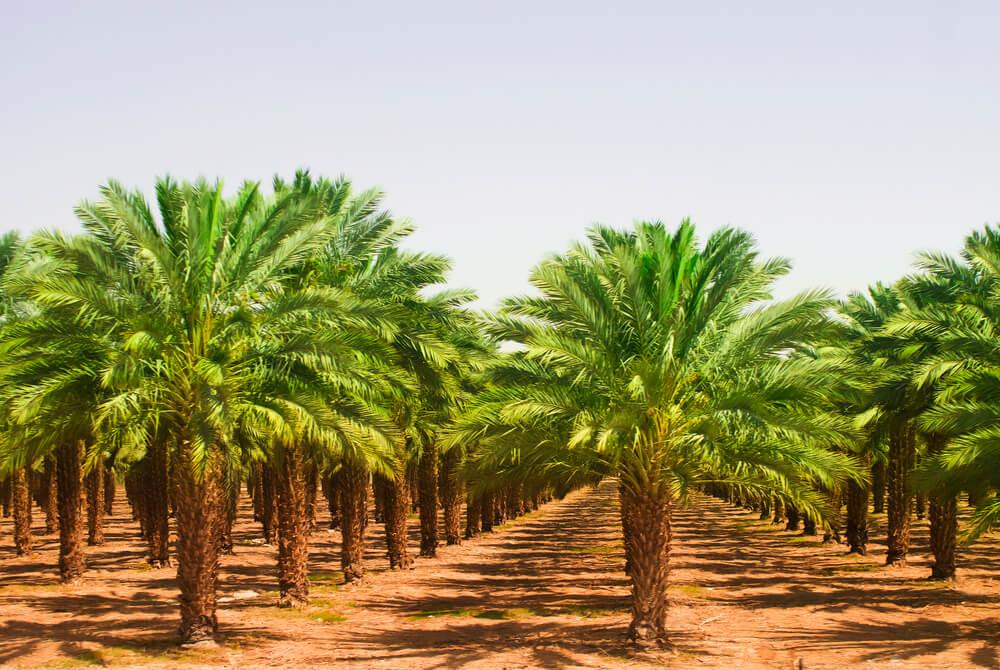 palmolie plantage