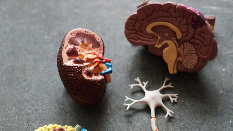 Hupothalamus