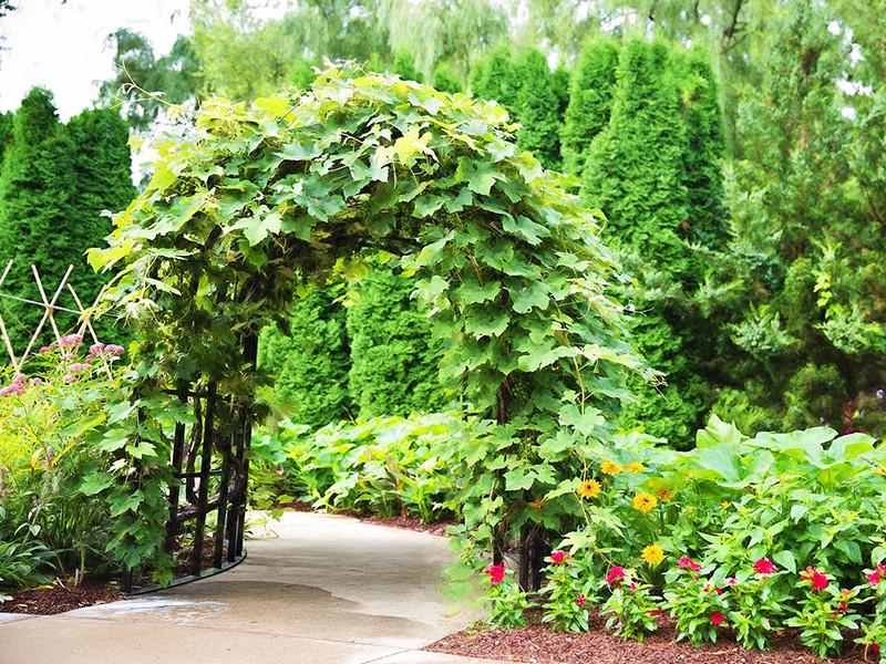 pergola met klimplanten