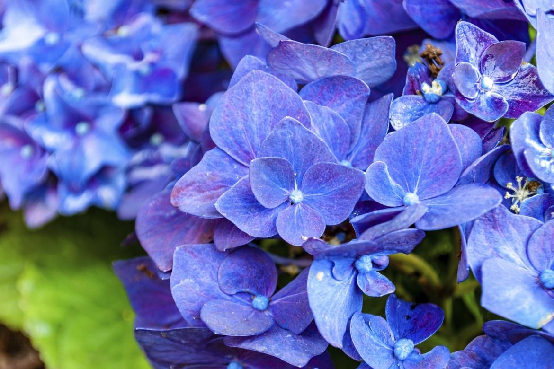 hortensia blauw