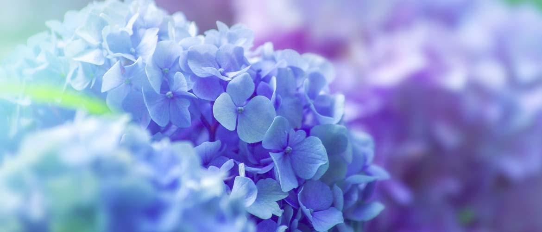 Wat is de bloeitijd van een Hortensia?