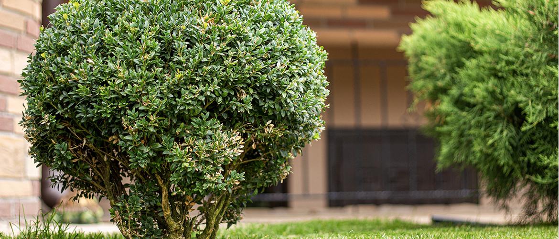 Buxus in vorm snoeien: waar op letten?