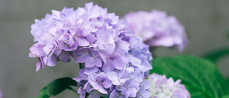 Hoe pas je de kleur van een hortensia aan?