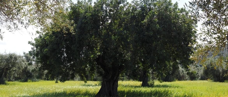 Hoe plant u een olijfboom?