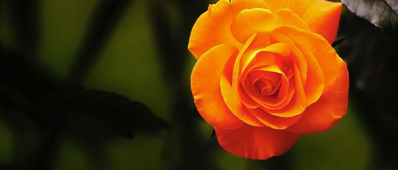 Hoe plant en verzorgt u rozen?