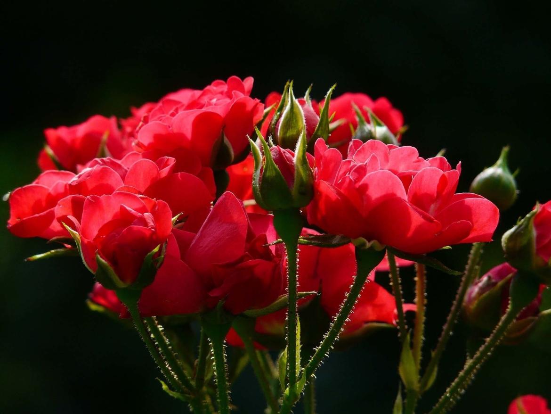 rozen verzorgen