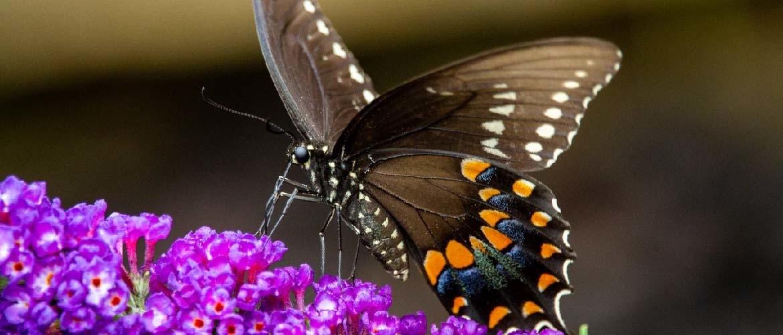 Een vlinderstruik verzorgen; hoe doet u dat?