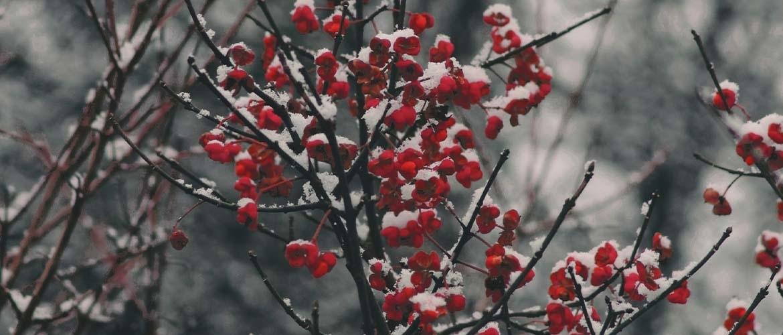 Winterbloeiende struiken die uw tuin opfleuren in de koude maanden