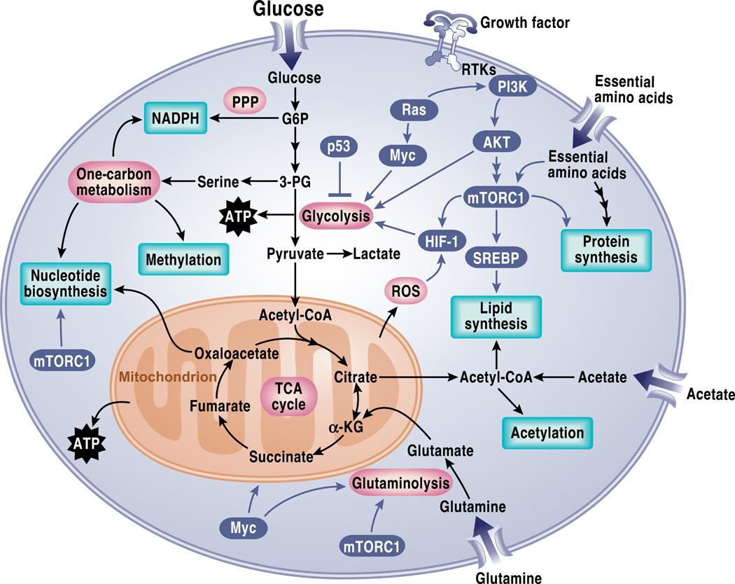 Kanker Cel Metabolisme